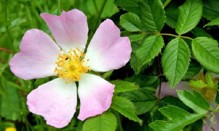 Dzika różą