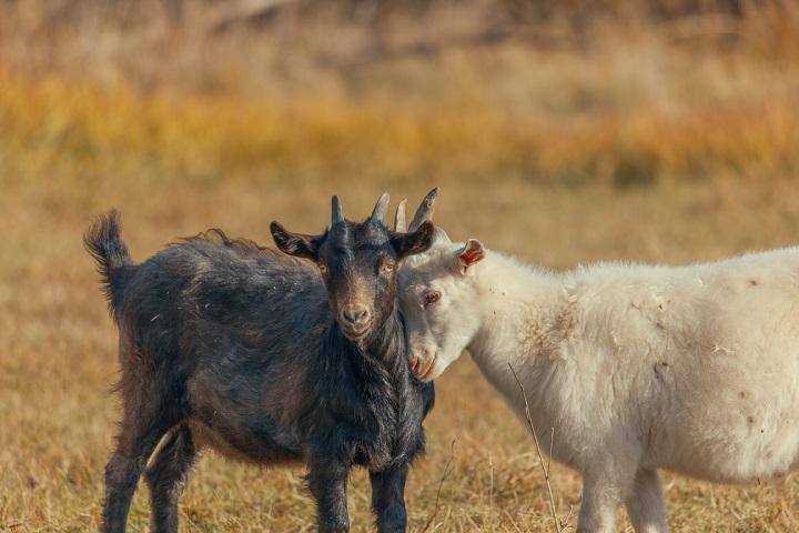 colostrum kozie